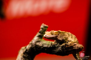 Gecko against red manfrotto logo background at the Photography Show 2014